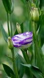 Russellianum di eustoma Fotografie Stock Libere da Diritti