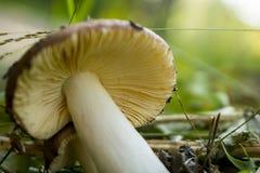Russet гриба Стоковые Изображения