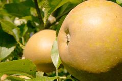 Russet Apple Royalty Free Stock Image