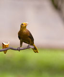 A Russet-backed Oropendola Stock Photos