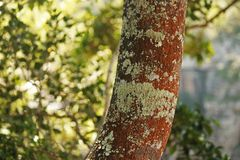 RUSSET COLOURED TRUNK WITH LIGHT GREEN LICHEN. View of a rust coloured tree trunk with light green lichen and green background stock image