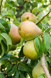 Russet pears growing in the orchard Royalty Free Stock Images
