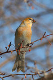 Russet Pine Grosbeak. A russet Pine Grosbeak eating berries from a flowering crabapple tree during winter in Littlefork, MN Stock Image