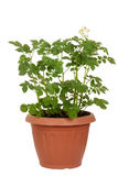 Russet potato plant in pot. Isolated russet potato plant in pot stock photos