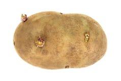 Russet Potato On White. A single fresh picked russet potato on white background royalty free stock photography