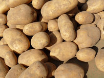 Russet potatoes at market Stock Images