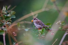 Russet`s Sparrow, Passer rutilans, Ghatgarh, Uttrakhad. Russet`s Sparrow, Passer rutilans, Ghatgarh Uttrakhad India royalty free stock image