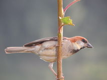 Russet Sparrow (Cinnamon Tree Sparrow). Holding tightly a branch of cherry tree Stock Photography