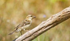 Russet Sparrow Stock Photo