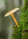 Russet Toughshank Fungi Stock Image
