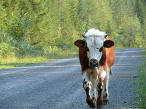 Russia, Alanga. Landscape nature. Coniferous forest. The cow is Stock Images