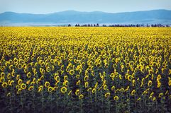 Russia altai, village, Field of sunflowers, field, summer,. Horizon nature panorama clear sunny day stock photography