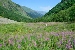 Russia, the Caucasian biosphere reserve. River valley of Imeretinka in summer in clear weather. Blooming fireweed. Russia, the Caucasian biosphere reserve. River stock photos