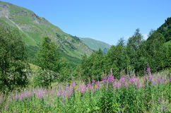 Russia, the Caucasian biosphere reserve. River valley of Imeretinka in summer in clear weather. Blooming fireweed. Russia, the Caucasian biosphere reserve. River stock image