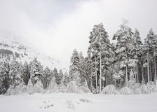 Russia. Caucasus. Elbrus ski resort. Pines in snow. Russia. Caucasus. Kabardino-Balkaria. Elbrus ski resort. Pine forest after snowfall Royalty Free Stock Images
