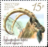 RUSSIA - CIRCA 2013: Postage stamp printed in Russia shows bezoar goat Capra aegagrus , series Fauna of Russia. Wild goats and rams Stock Image