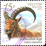 RUSSIA - CIRCA 2013: Postage stamp printed in Russia shows Caucasian tur Capra caucasica , series Fauna of Russia. Wild goats and rams Stock Images