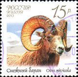 RUSSIA - CIRCA 2013: Postage stamp printed in Russia shows snow sheep Ovis nivicola, series Fauna of Russia. Wild goats and rams Royalty Free Stock Photography