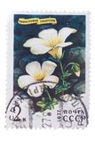 RUSSIA - CIRCA 1977: a stamp printed in the shows Siberia. RUSSIA - CIRCA 1977: a stamp printed in the Russia shows Siberian Saxifrage, Saxifraga Sibirica royalty free stock images