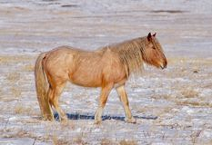 Trans-Baikal horse breed has a high endurance and adaptation to harsh cold winters. Russia. Eastern Siberia. Shore of lake Baikal in Buryatia royalty free stock images