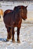 TRANS-Baikal horse breed has a high endurance and adaptation to harsh cold winters. Russia. Eastern Siberia. Shore of lake Baikal in Buryatia royalty free stock photography