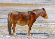 TRANS-Baikal horse breed has a high endurance and adaptation to harsh cold winters. Russia. Eastern Siberia. Shore of lake Baikal in Buryatia royalty free stock photo