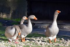 Geese walk on a Sunny day on the rocky shore of the pond royalty free stock photography