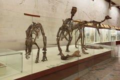 Dinosaur skeletons Royalty Free Stock Photo