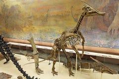 Saurolophus skeleton Royalty Free Stock Image
