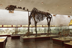 The skeleton of a Indricotherium. Russia, interior of Moscow Paleontological Museum, the skeleton of a Indricotherium transouralicum Stock Images