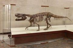 Prestosuchus chiniquensis Huene Royalty Free Stock Photography