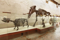 Brachypotherium and mastodon Gomphotherium atavus (Borissiak) Royalty Free Stock Image