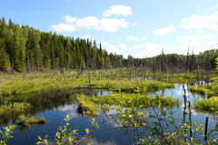 Russia. Karelia. Bog with blue water and forest on blue sky background. Horizontal view. Stock Photos