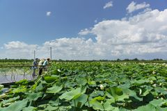 Tourists on the observation deck of the lake admiring the flowers of the Lotus nut lat. Nelumbo nucifera on a Sunny summer day. stock photography