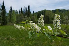 Snow-white cherry blossom. Russia. kuznetsk alatau. Cherry ordinary naturalized worldwide in temperate climate royalty free stock image