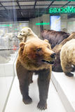 Russia, Moscow, February 21, 2017:   State Darwin Museum. Stuffe. D bear in the Zoological Museum Royalty Free Stock Photo