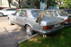 Russia, Moscow - May 04, 2019: Striped homeless street cat jumps off from the trunk lid of old silver Mercedes Benz. Warm spring. Day car animal cute pet mammal stock photos