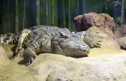 Russia. Moscow zoo. Crocodile. Moscow zoo is one of the largest and the oldest zoos in Russia. Founded in 1864. The collection includes 1150 species of animals Royalty Free Stock Photography