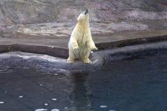 Russia. Moscow zoo. The polar bear. Royalty Free Stock Photos