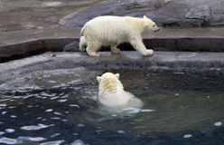 Russia. Moscow zoo. The polar bear. Royalty Free Stock Photo