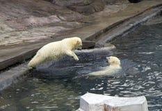 Russia. Moscow zoo. The polar bear. Stock Photo