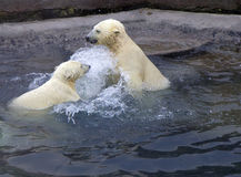 Russia. Moscow Zoo. The Polar Bear. Royalty Free Stock Image