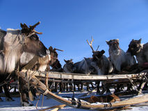 Russia, Nadym. Harness the reindeer and sleigh in the snow. Stock Photos