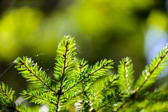 Russia. Nature and the forest. spruce branches Royalty Free Stock Photos