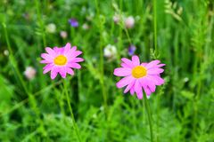 Russia, North Ossetia - Alania. Flora of the Zrug gorge. The pink pyrethrum, or Persian Daisy,   lat. Pyrethrum roseum.  royalty free stock photo