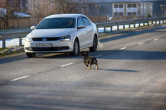 car attacking a mad dog on road Royalty Free Stock Images
