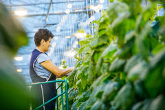 Russia, Omsk - September 26, 2014: green crop in greenhouse Stock Images