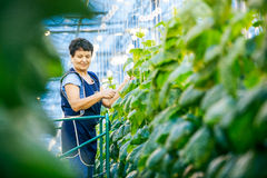Russia, Omsk - September 26, 2014: green crop in greenhouse stock image