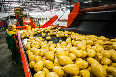 Russia, Omsk - September 26, 2014: vegetable factory. Russia, Omsk - September 26, 2014: Potato sorting, processing and packing factory Druzhino, vegetable in Royalty Free Stock Photos