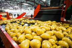 Russia, Omsk - September 26, 2014: vegetable factory. Russia, Omsk - September 26, 2014: Potato sorting, processing and packing factory Druzhino, vegetable in Royalty Free Stock Photography